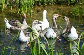 Group Of Geese In Marshy Pond