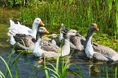 Group Of Geese Swimming In Swamp
