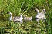 Three Geese In Pond