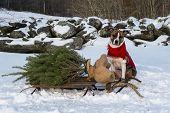 Taking home the Christmas tree.
