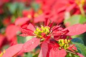 pic of poinsettia  - Colorful Poinsettia flower (christmas star) Poinsettia garden