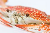 stock photo of cooked blue crab  - Close up of Blue crab - JPG