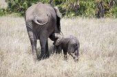 African Elephant Nursing Its Baby