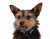 foto of chihuahua mix  - a cute chihuahua mixed breed dog isolated on a white background - JPG