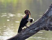 African Darter (anbinga Malenogaster)