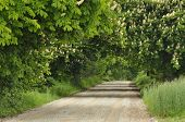 Blooming Chestnut Trees Along The Gravel Road. Early Spring, White Flowers