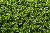 Deep Green Hedge