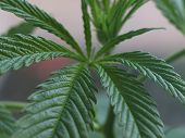 picture of blunt  - Green young leaves of marijuana. Taking a close-up.