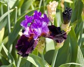 picture of purple iris  - One iris of purple and violet colours with green leaves - JPG