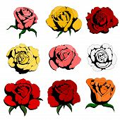nine color roses
