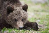 Small bear cub