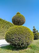 Ball-shaped evergreen trimmed shrub in Versailles garden, France