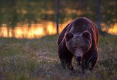 picture of bear  - A dangerous gaze from the large male bear. A wild bear in Finland. ** Note: Visible grain at 100%, best at smaller sizes - JPG