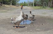 Grey domestic geese in the puddle on the road