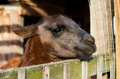 image of lamas  - animal lama in aviary of the zoo - JPG
