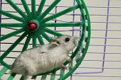 foto of hamster  - the little hamster is running in the wheel - JPG