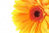 Detail Of Orange Gerbera Flower