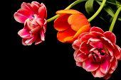 Tulip Floral Arrangement