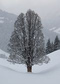 Big Old Maple Tree In Winter