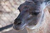 Lama animal close up portrait