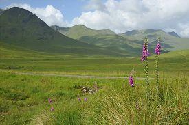 picture of digitalis  - Foxgloves - Digitalis purpurea in Glen Shiel Scotland Cluanie Forest & Meol Chinn-dearg in background - JPG