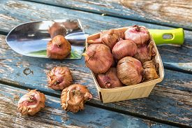 pic of gladiola  - Gladiola bulbs ready to plant in the spring garden - JPG