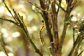 stock photo of moth larva  - Colorful yellow and black caterpillar the larva of a moth or butterfly and a voracious garden pest eating the leaves and stems of plantss against a background of garden trees - JPG