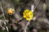 picture of cowslip  - Yellow flowers of primroses with a small depth of sharpness - JPG
