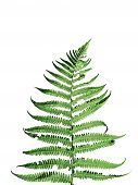 picture of fern  - Fern leaves isolated on a white background - JPG