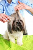 foto of barbershop  - Cute Shih Tzu and hairdresser in barbershop - JPG