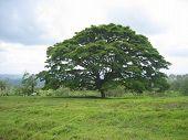 Umbrella Tree