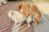 stock photo of mating  - Pomeranian dogs mating - JPG