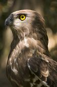 Short Toed Eagle ( Circaetus Gallicus )