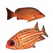 stock photo of red snapper  - Red Snapper fish and Squirrelfish isolated on white background - JPG
