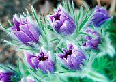 Lush Pasque Flowers