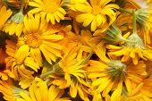 foto of marigold  - marigold - JPG