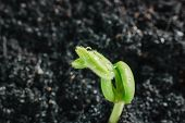 foto of tamarind  - Young tamarind sprout growing from soil in the morning - JPG