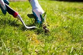 image of weed  - A garden gloved hand manually pulls a weed from the grass with the help of a weed pulling tool - JPG