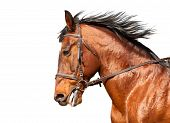 foto of bay horse  - Bay horse in profile on a white background - JPG