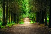 image of coniferous forest  - Walkway Lane Path With Green Trees in Forest - JPG