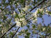 Cherry Flowering