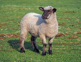 pic of suffolk sheep  - Young suffolk sheep on a green pasture - JPG