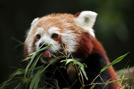 image of panda  - Red panda  - JPG