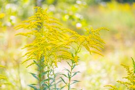 pic of goldenrod  - Beautiful yellow goldenrod flowers blooming. Beautiful flowers of autumn.