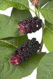 pic of pokeweed  - Indian Pokeweed plant and berries - JPG