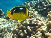 Vierfleck-Falterfisch