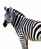 stock photo of zoo animals  - zebra zoo animal wild color isolated stripes beautiful safari - JPG