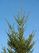 Fir Tree For Christmas Over Blue Sky