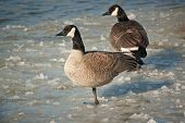 Canada Geese Standing On A Frozen Pond