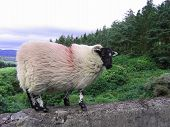 Irish Black-Faced Ram